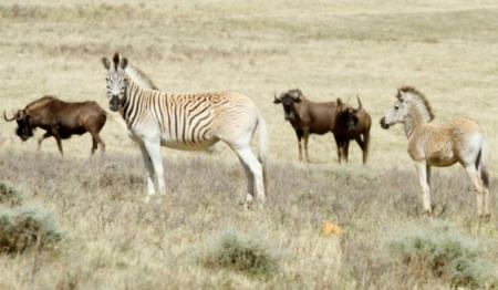 Rau-quagga (zebra subspecies)